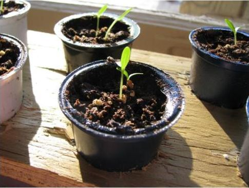 K-cup-seed-starter