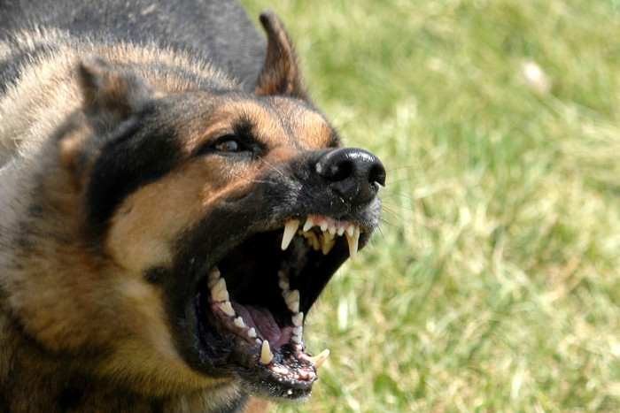 Snarling German Shepherd