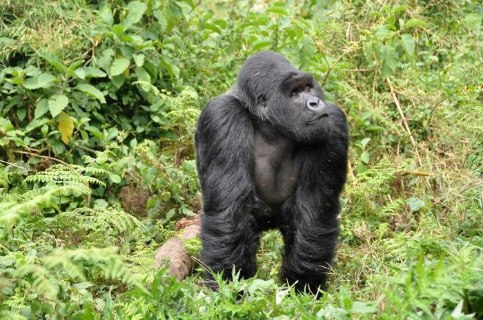 gorillas-474728_1280