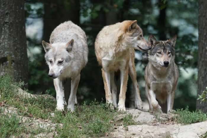 timber-wolves-907680_1920
